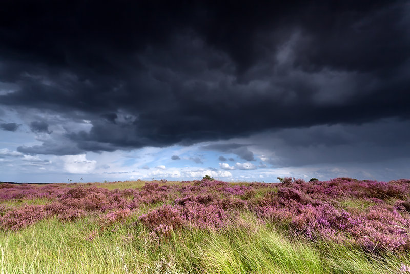 stormy sky over meadows with heather flowers